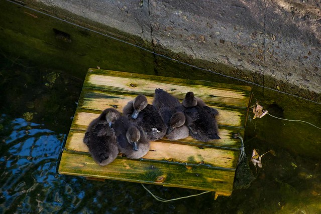 young-ducks