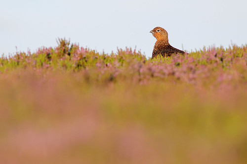 Red Grouse in heather by Paul Miguel