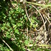 Small photo of Aeschynomene brevifolia habit Tac Campbell