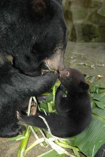 台灣黑熊母子,圖片由黃美秀提供。
