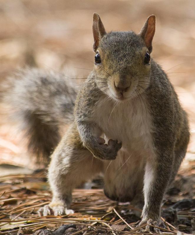 Primo piano scoiattolo by Giovanni Parodi