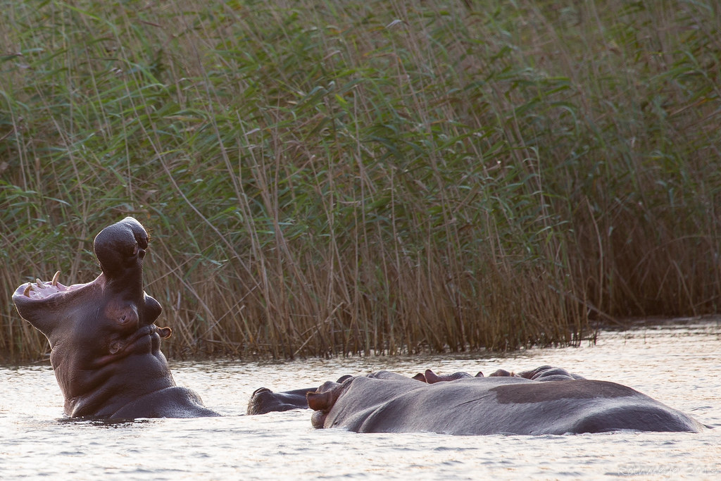 Hippos at St. Lucia bay South Africa