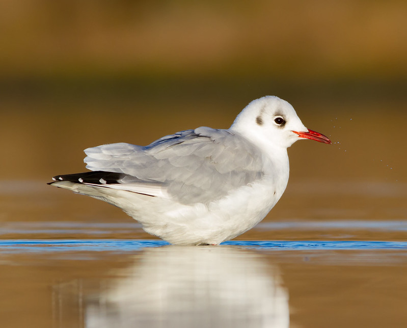 Hettumáfur - Black headed Gull - Chroicocephalus ridibundus
