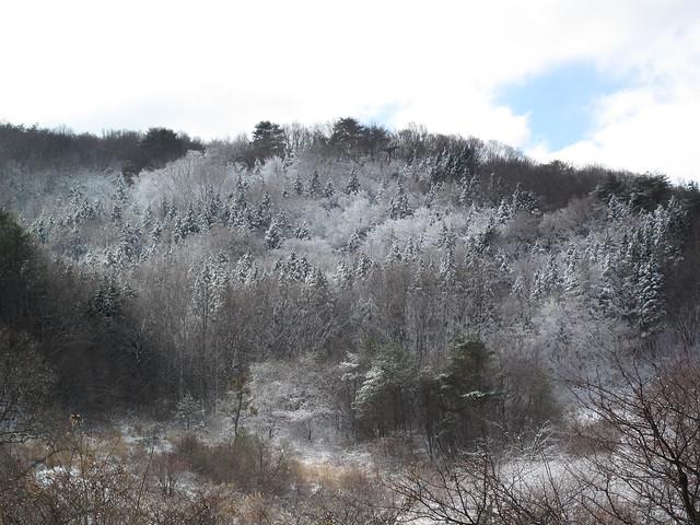 霜の付いた木々がクリスマスツリーみたい.