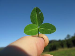 Trifolium semipilosum leaf7