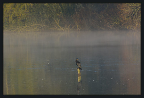 mist lake bird nature fog sunrise dawn suffolk wildlife lakes reserve trust cormorant lackford