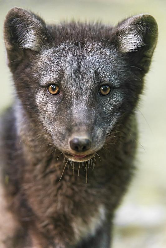 Beautiful and serious polar fox portrait