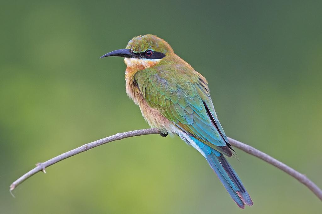 Blue Tailed Bee-eater Sri Lanka 2013-11-29