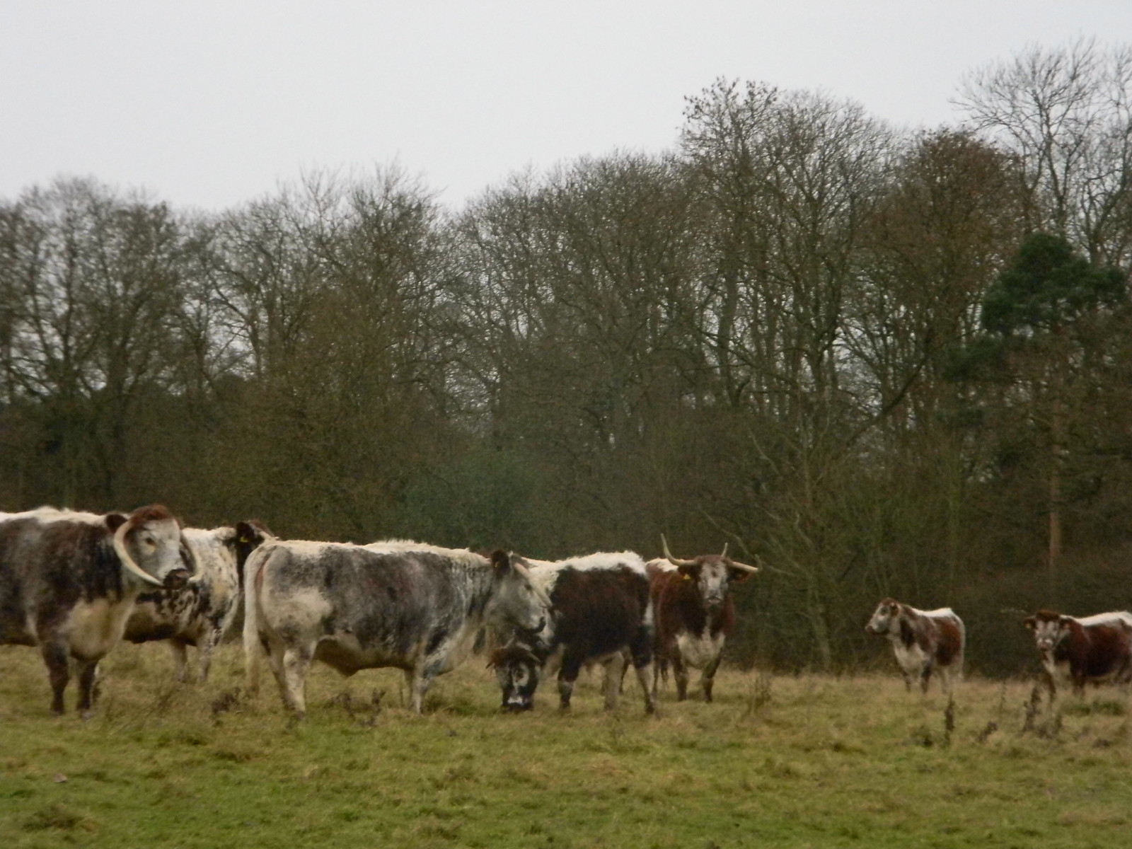 Scary looking cows Ok so maybe not that scary. Loughton to Epping