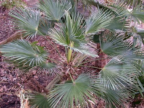 Hardy palm