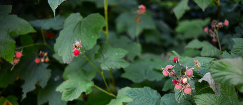 Thimble berries.