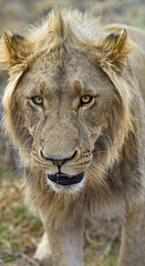 Another young male lion
