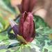 Trillium decipiens (Deceiving Trillium or Chattahoochee River Wake Robin) by jimf_29605