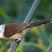 WHITE-HOODED BABBLER (Gampsorhynchus rufulus) ~ {6 Photos} by PAULO.COTERIANO