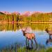 Sprague Lake Elk by Tom.Bricker