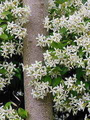 jasmine, flower, branch, leaf, herb, flora,