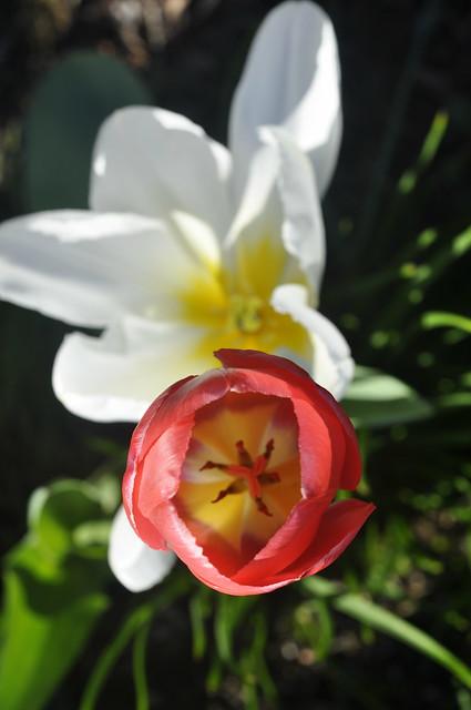 2014-05-02 Tulips