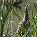 Small photo of American Bittern