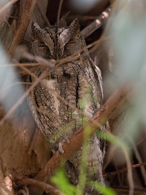 Scops Owl 2014-05-03