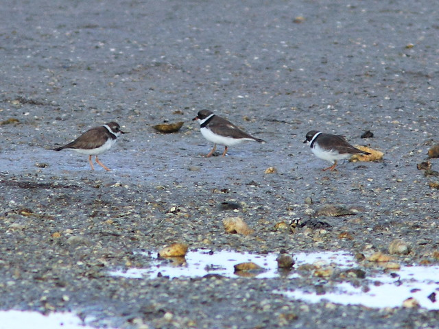Semipalmated Plovers 20140422