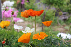 annual plant, prairie, eschscholzia californica, flower, yellow, plant, wildflower, flora, coquelicot, meadow, petal, poppy,