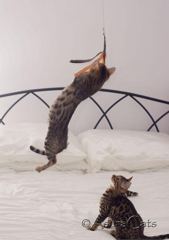 AsuraCats Cutie & Pie jumping