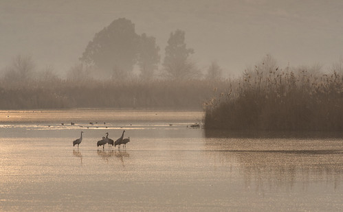 morning lake bird nature misty israel crane wildlife beak feather agamonhula