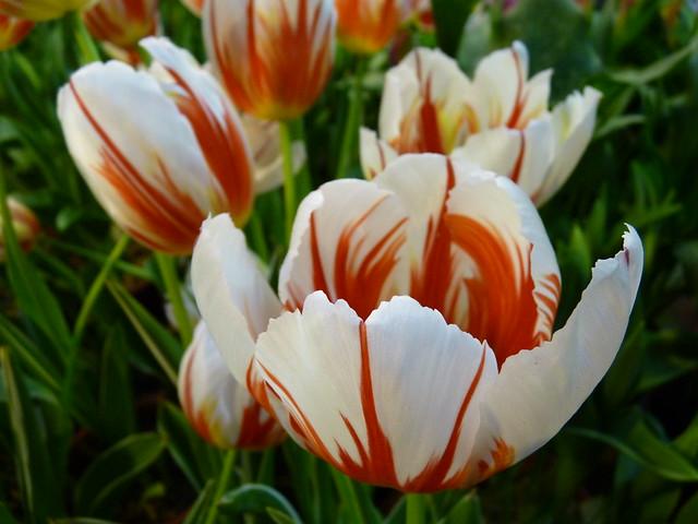R - u9b31u91d1u9999-Tulip-P2120150