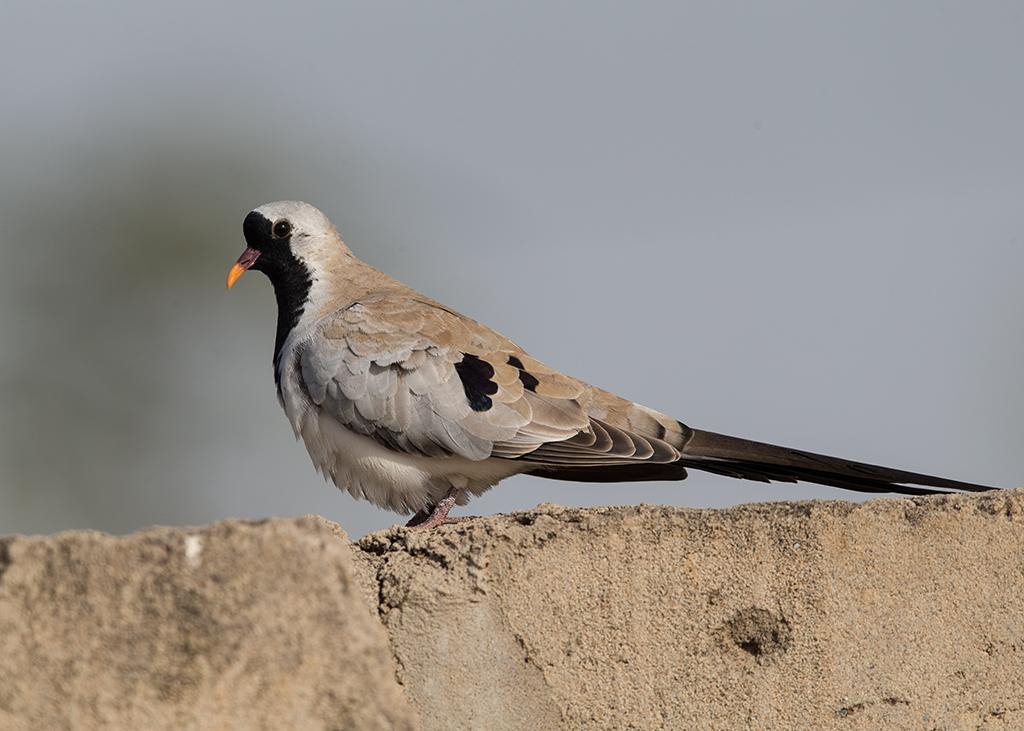Namaqua Dove Gambia