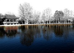 Denman Park Lone Duck Crossing Pond