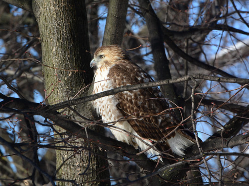Riverside Red-Tail - 5180
