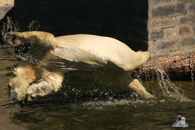 Eisbär Fiete im Zoo Rostock 07.05.2016  0110
