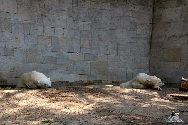 Eisbär Fiete im Zoo Rostock 07.05.2016  02