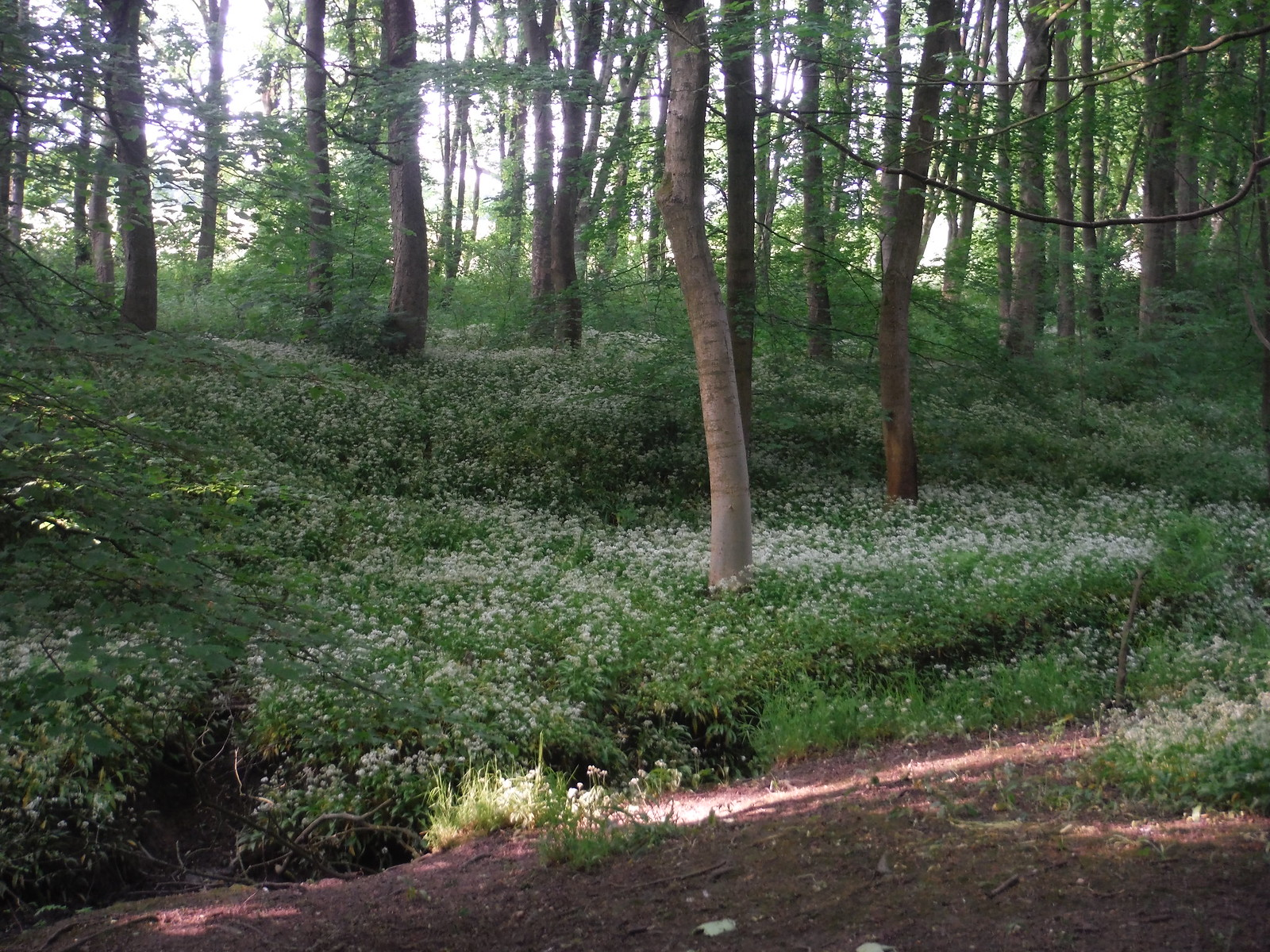 Wild Garlic, Cobnar Wood SWC Walk 267 - Sheffield Circular (via Porter, Limb, Sheaf and Gleadless Valleys)
