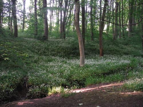 Wild Garlic, Cobnar Wood