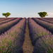 Lavender fields at Valensole by jorge6030