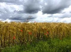 Le temps des récoltes approche