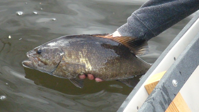 Thick Smallmouth from Maine river
