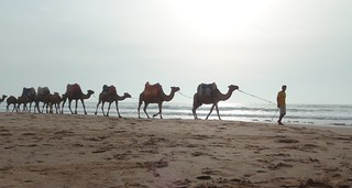 Morocco camel convoy