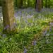 Bluebells in Aston Court Estate