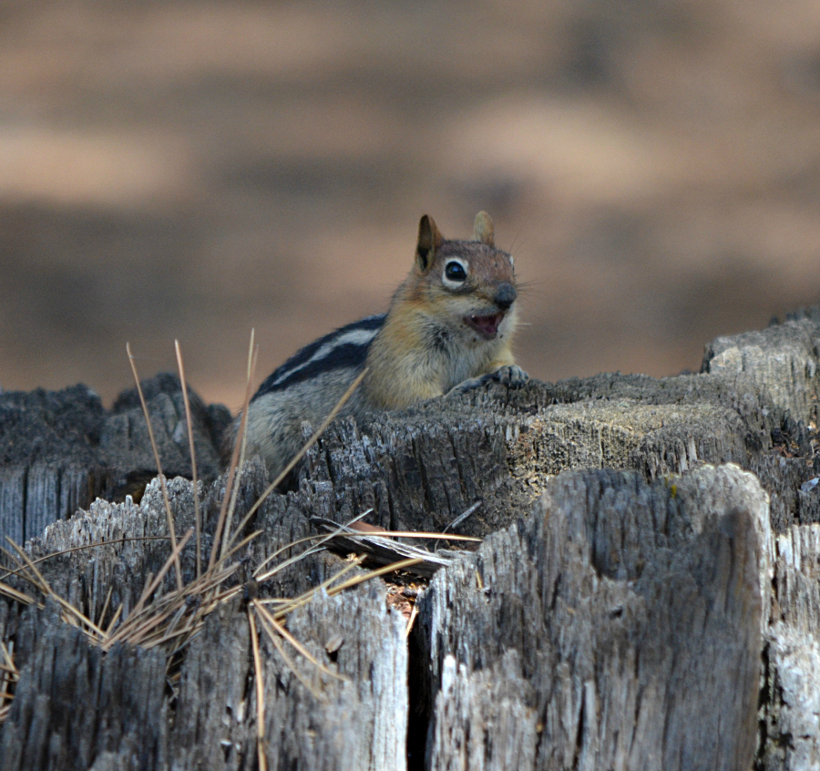 DSC_0242_PM_chipmunk