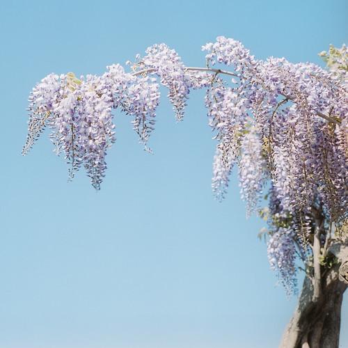 wisteria by _miqqi