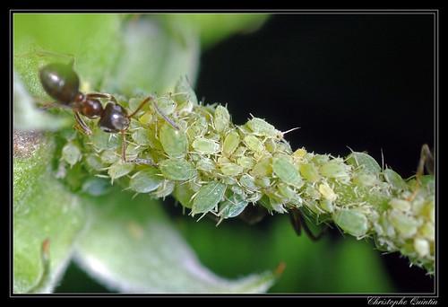 Puceron vert du framboisier (Aphis idaei)