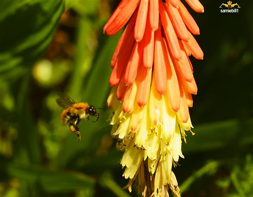Red Hot Poker by sarniebill1 very busy