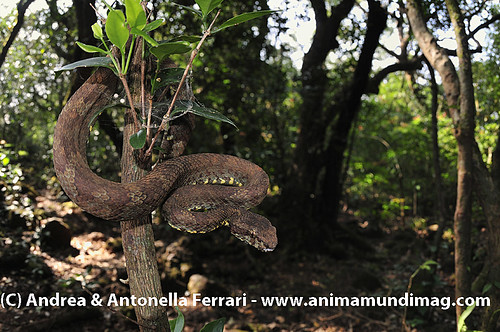 reefwondersdotnet posted a photo:	Malabar Pit viper Trimeresurus malabaricus, the Western Ghats, Sahyadri mountain range, a Unesco World Heritage Site, Goa, India