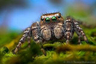 Evarcha proszynskii - Adult Male Jumping Spider - Oregon