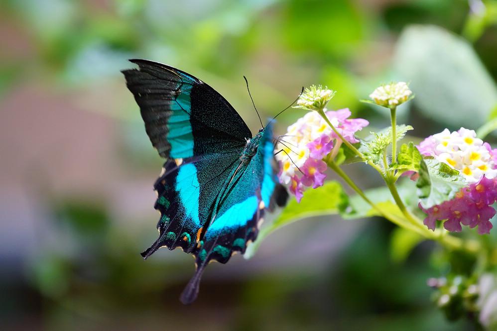 美洲鳳蝶 Papilio palinurus-1