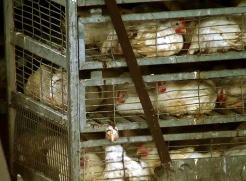 זוגלובק - ראש של תרנגול מדמם שנלכד בין הסורגים
