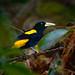 Yellow-rumped Cacique (Cacicus cela) ©berniedup