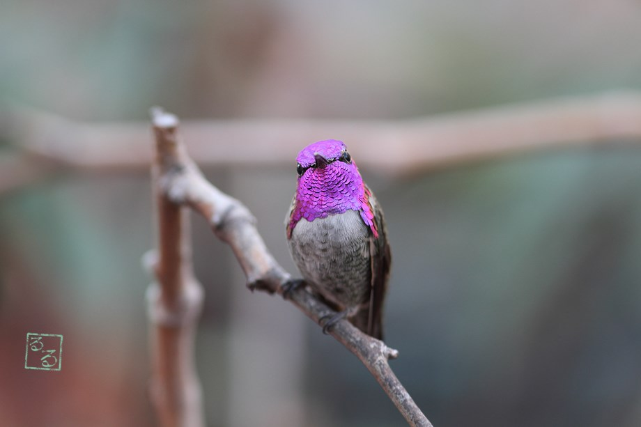 Costa's X Anna's Hybrid Hummingbird 111113-4